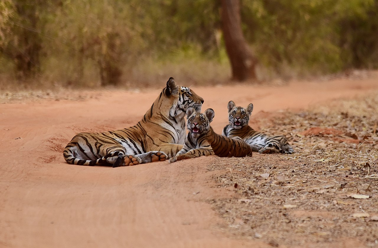 Go on a wildlife excursion of Bandhavgarh National Park