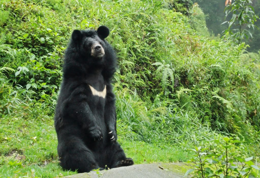 Himalayan Black Bear at Kugti Wildlife Santuary