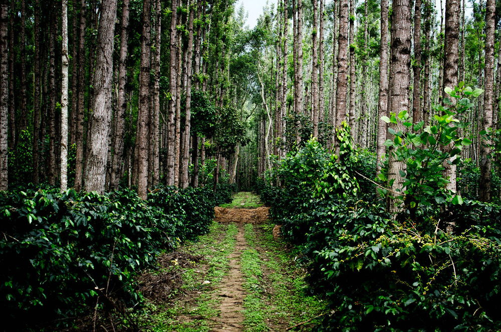 Coffee-plantations-in-chikmagalur