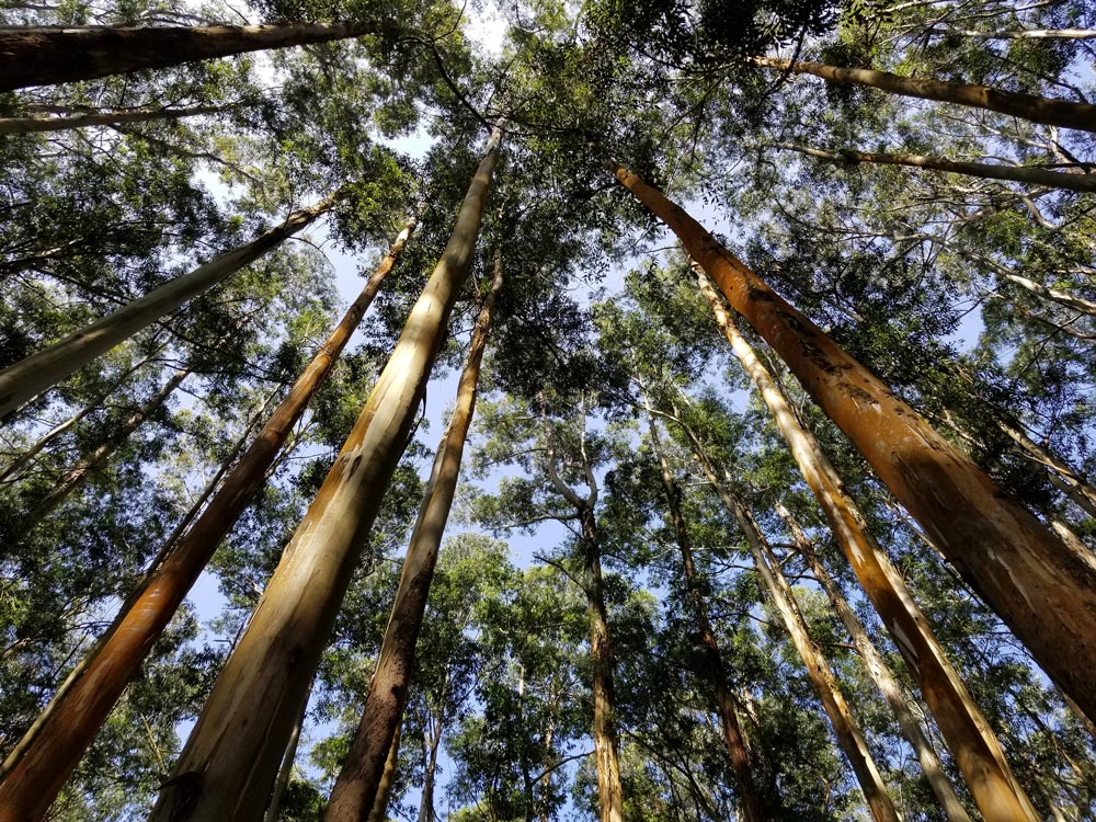 Pine Forest Ooty