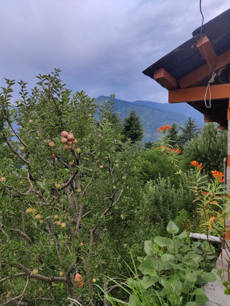 apple orchards in Naggar